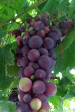 Uva, fuente de polifenoles
