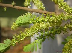 Amla, amlaki o grosella indica (Phyllanthus emblica)