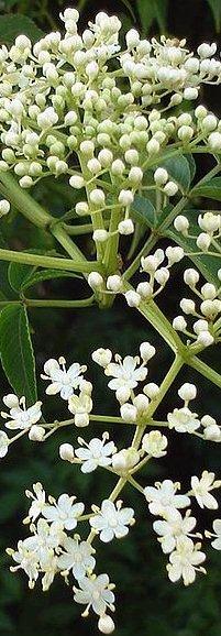 Flores de neem