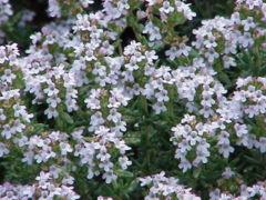 Flor del tomillo