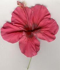 Flor de la cayena
