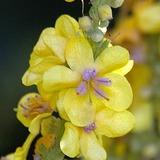 Flor de Gordolobo