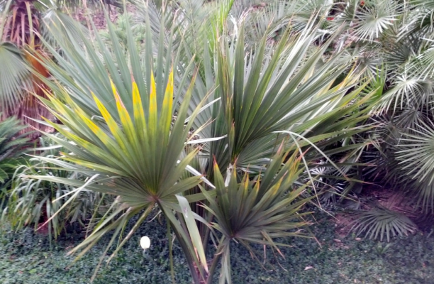 Sabal o saw palmetto