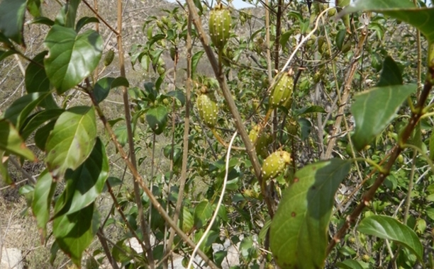 Extracto natural de COPALCHI de Soria Natural